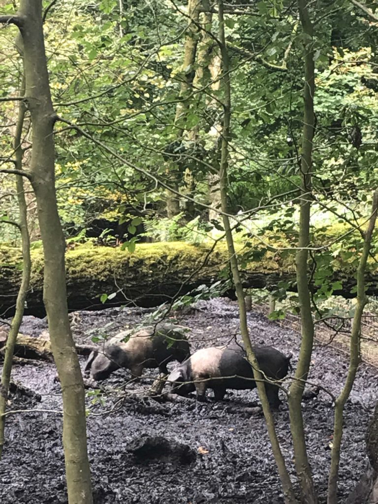 the forager pigs at Haigh woodland park in Wigan