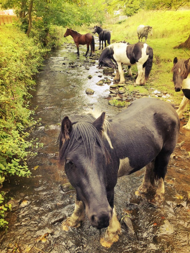 horses drinking from a river at Pendle Hill
