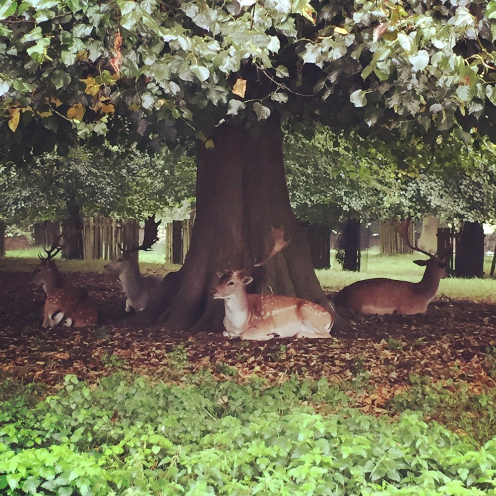 four stags lying under a beach tree in autumn with autumn leaves strewn on the ground