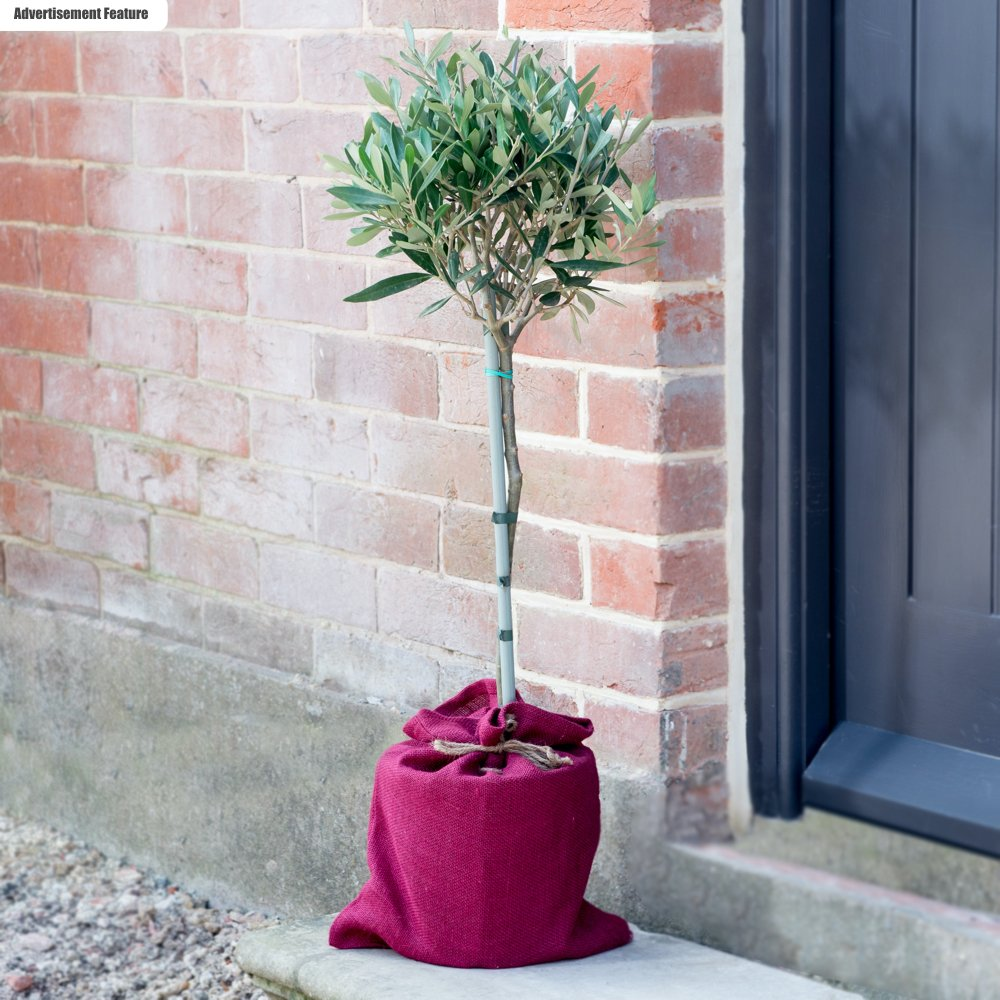 olive tree packaged in pink hessian sack