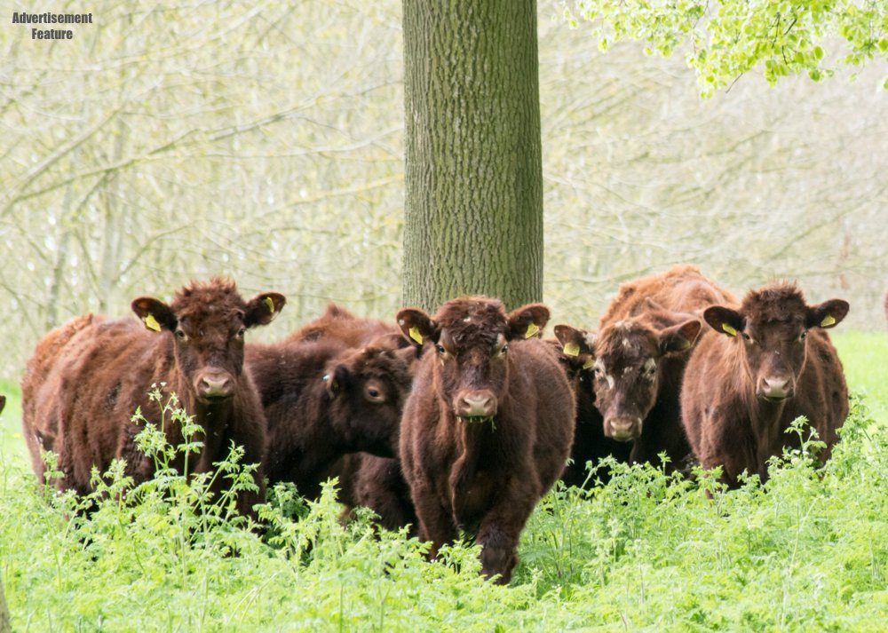 rare breed cattle in the forest at South Ormsby Estate Lincolnshire